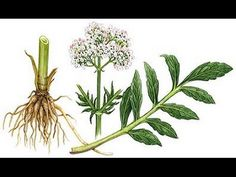 Kitchen Witch School of Natural Witchery: The Magic of Valerian Root. Also one of my most cherished garden plants, heavenly scent.