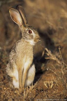 Hare Pictures, Animal Pictures, Jack Rabbit, Bunny Rabbit, Hunny Bunny, March Hare, Mammals, Dachshund, Squirrel