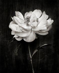 Black & white peony prints by Kari Herer