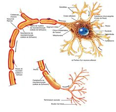 Dans le SNC, les oligodendrocytes myélinisent de  nombreux axones un peu comme les neurolemmocytes  myélinisent les axones du SNP.