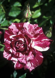 Purple tiger rose - I would love these in my flower garden