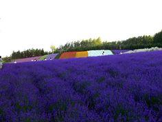 Lavender Farm - Furano, Hokkaido Furano, Lavender Fields, Outdoor Activities, Beautiful Homes, Island, Mountains, City, Nature, Summer