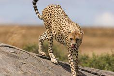 Adotta un Ghepardo - Sostieni WWF