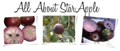 The Earth of India: All About Star Apple