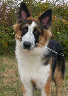 Panda shepherd on Pinterest | Pandas, German Shepherds and German ...