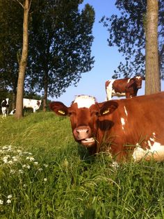 koeien langs de dijk omgeving Koewacht