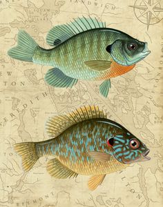 Bluegill and Pumpkinseed Sunfish with by StoneridgeArtStudios, $30.00