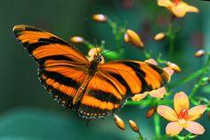 ~~ tiger wings butterfly by jaki good miller~~