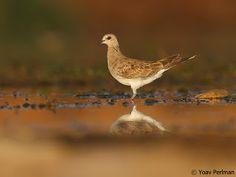 Not a shorebird - Eurasian Turtle Dove 1cy