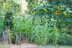 Sunflowers in Dee Nash's garden! 'Niki Jabbour - The Year Round Veggie Gardener'