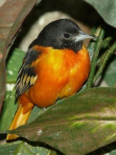 Icterus galbula - Baltimoretrupial - Baltimore oriole by Johannes Pfleiderer on Flickr