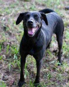 Jasmine/ Black Labrador Retriever / Cattle Dog / Mixed::Female::Adult::Medium | Unconditional Love Pet Rescue | 13 Stoppel Road, Eureka Springs, AR 72632  Contact Us:Phone: (870) 577-3744 | Email:diane@ulpr.org