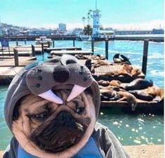 Pug puppies need a lot of care. Pugs ought to be brushed regularly Funny Animal Memes, Funny Animal Pictures, Funny Dogs, Funny Animals, Cute Animals, Funny Memes, Animal Pics, Pug Pictures, Cute Puppies