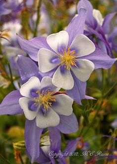 Columbine 'Songbird Bunting' — by takegoro