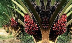 Peluang usaha pengembangan bisnis bibit kelapa sawit asal PPKS Marihat di Kabupaten Simalungun, Sumatera Utara.
