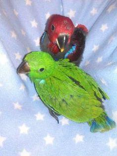 Baby Eclectus Parrots