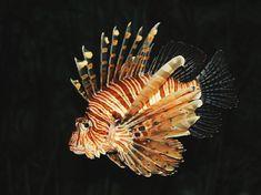 Florida Lionfish War Heats Up