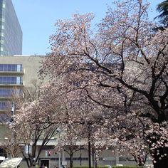 Sakura!