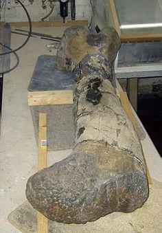 Cetiosauriscus Fossil Femur