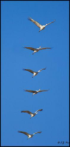 Sandhill Cranes  by E.J. Peiker