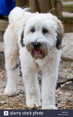 Find the perfect wheaten terrier stock photo. Huge collection, amazing choice, million high quality, affordable RF and RM images. Wheaten Terrier Puppy, Border Terrier Puppy, Terrier Puppies, Cairn Terrier, Terrier Mix, Terriers, Irish Terrier, Tibetan Terrier, Wheaton Terrier Soft Coated