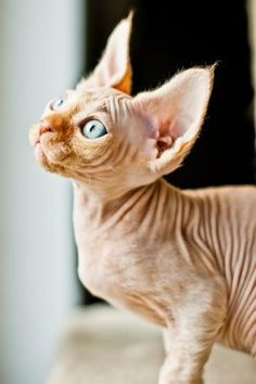 Red tabby Devon Rex kitten by Emilia Duczynska