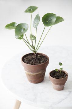 #pannenkoekplant #Pilea Peperomioides