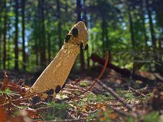 Schwarzwald Morchel im Wald Black Forest Mushroom