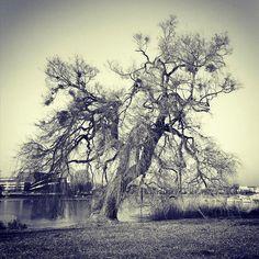 Branching out. #tree #treelovers #potsdam #äste #havel #babelsberg #baum #eeriebutbeautiful #eerie #hauntedtree #haunted #monochrome #goingforawalk #spaziergang #potsdamcity