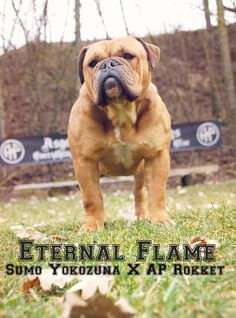 AP Eternal Flame in March 2017.  Continental Bulldog Female   www.asgards-pride.com Continental Bulldog, Olde English Bulldogge, Bulldog Breeds, Eternal Flame, Bullen, Bully Dog, Natural Birth, Moto Guzzi, Pet Dogs