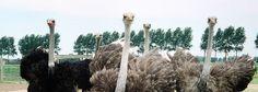 Struisvogel boerderij Zeeuws Vlaanderen