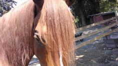 A Mustang's lovely forelock :) gorgeous! He's the Fabio of the horsey world.