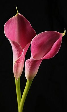 Few fresh cut flowers offer the elegance and versatility of the calla lily. If you are designing your own wedding bouquet, centerpieces or arrangements, the calla lily will provide all of the style… Flowers Nature, Exotic Flowers, Amazing Flowers, Pink Flowers, Beautiful Flowers, Lilies Flowers, Tropical Flowers, Cactus Flower, Yellow Roses