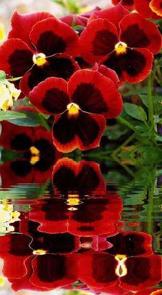amor perfeito vermelho