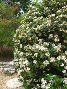 spice island koreanspice viburnum viburnum carlesii 39 j n select a 39 an abundance of white. Black Bedroom Furniture Sets. Home Design Ideas
