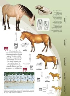 Horse evolution.  Same thing as the whale evolution- these things have never been found in this order in the same place.  In South America they are found in reverse.  Also, the earliest animal had 18 ribs, the next had 19, the next 15, and the modern horse (equus) has 18 again.  I don't understand the reason an evolving creature would keep switching back and forth.