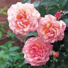 en ros r en ros on pinterest david austin roses roses and david. Black Bedroom Furniture Sets. Home Design Ideas
