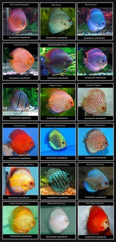 Types of Discus fish! These freshwater fish are considered fairly easy to care for, however, they prefer having a tall tank (rather than a long one) and also like have fellow Discus fish friends.