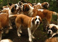 """Saint Bernard Pack """"Who wants a group hug?"""" How awesome would it be to be surrounded by saints?"""