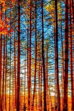 Autumn Forest Tall Trees iPhone 6 Wallpaper