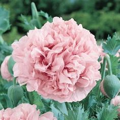 Pink Peony Poppy Seeds. Annual Flower Seeds.