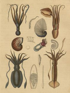 book illustrations : cephalopod species