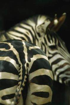 Africa | View of a zebra, seen from behind. | © National Geographic / Tim Laman