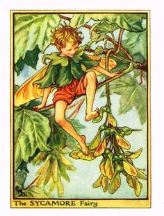 """Cicely Barker's Fairy Print - """"THE SYCAMORE FAIRY"""" - Children's Lithogrpah - c1935"""