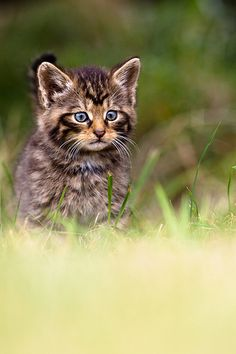 Born to Be Wild - Scottish Wild Kitten