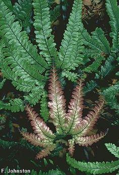 Adiantum hispidulum [ Common Name: Rough Maiden-hair Fern ]; family: Adiantaceae