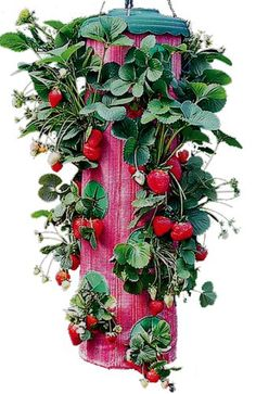 Growing strawberries in hanging pots is a new trend that is, in reality, really easy. As a matter of fact, container gardening is the tendancy.