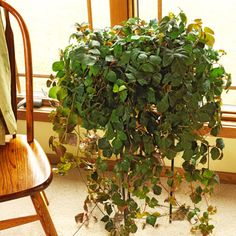 If you have a black thumb, grape ivy is the plant for you. Modern White Bathroom, Rustic Bathrooms, Minimalist Bathroom, Ivy Plants, Indoor Plants, Indoor Gardening, Container Gardening, Best Bathroom Plants, Ikea Bathroom