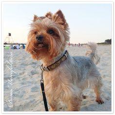 Plaża, Yorkshire terrier