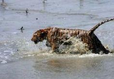 9-Aug-2014 15:53 - TIJGER PAKT INDIASE VROUW. In de mangrovewouden van Oost-India is een vrouw het slachtoffer geworden van een tijger. Het grote roofdier viel de vrouw aan en nam haar in zijn bek mee het bos in. Haar man zag het gebeuren. Hij was samen met zijn vrouw en een man met een boot een rivier opgevaren. De drie hadden aangelegd om krabben te vangen toen de tijger plotseling uit het woud opdook. Het dier greep de vrouw en rende met haar de jungle in. Tot nu toe is er nog geen...